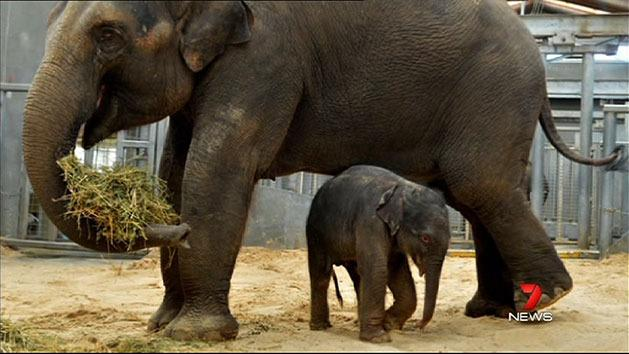 Jumbo joy for Melbourne Zoo