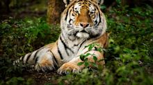 Rescue search underway for tiger on the loose in Tennessee
