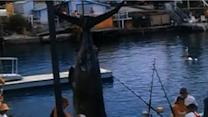 Raw Video: Huge fish caught, record just missed