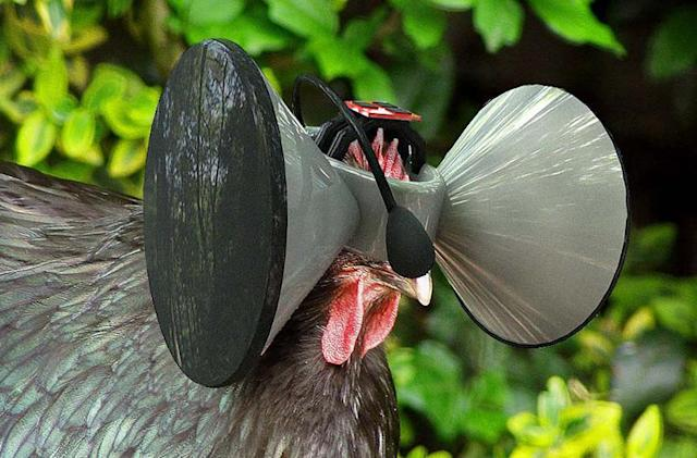 Even chickens have their own virtual world