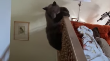 Watch: A mama bear and her cubs broke in to a home and one parkoured down the staircase
