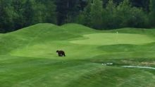 Mama Bear and Cub Spotted Crossing Trickle Creek Golf Course in British Columbia