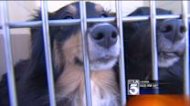 Hundreds of People Turn Out to Adopt Shelties Rescued From Burning Home