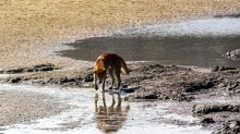 Dingo mauls wandering boy on Fraser Island