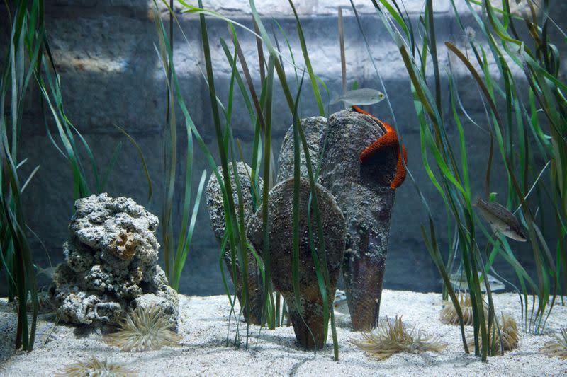 Croatian biologists fear largest Mediterranean clam near extinction