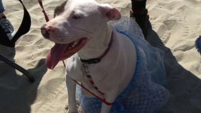 Lucky expecting pit bull got a beach side baby shower