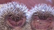 Prickly Pocket Pets Gaining Popularity