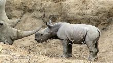 Baby rhino fascinated by his mom's horn