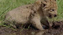 Meet TV's most adorable baby lion (exclusive)