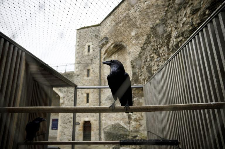 The ravens at the Tower of Raven are some of the world's most famous birds