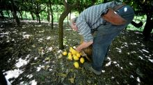 The uphill struggle on the terraces of Amalfi's lemon growers