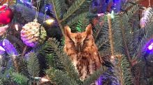 Family find owl living in their Christmas tree, feed it chicken