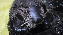 Endangered sea otters fly into France