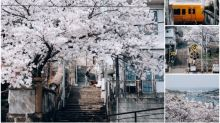 【圖集】超靚日本廣島櫻花圖 春天版《人中之龍》