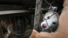 Produtor de carne de cachorro na Coreia do Sul, um trabalho mal visto