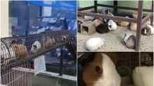 【有片】天竺鼠列車!日本京都市動物園超可愛成員