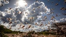 Entering India from Pakistan and Flying as Far as MP: All You Need to Know About the Dreaded Locusts