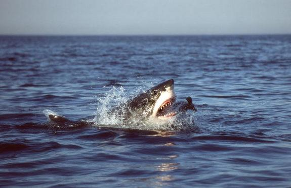Great white sharks, among nature s most capable predators, hunt in a certain area, much like criminals operating from a house, scientists recently learned. Here a great white successfully lunges for and captures a juvenile fur seal in False Bay