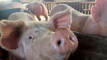 Analysis: More wheat feeding and pig disease outbreaks pose double threat to China soymeal demand