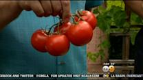 In The Garden: Not All Tomatoes Are Grown The Same Way