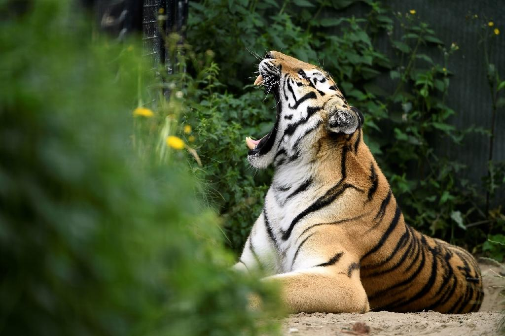 The big cats train in an artificial savannah and are challenged according to their physical condition, while some have become lazy in captivity (AFP Photo/)