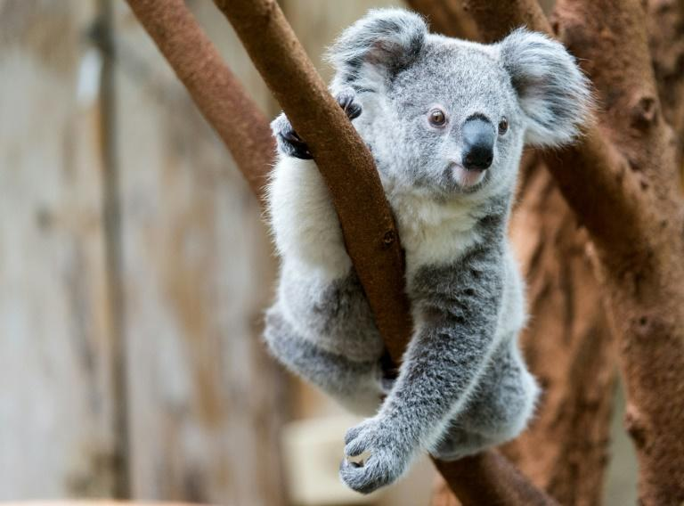 Wildlife rescuers in northern New South Wales state hold grave fears for hundreds of koalas