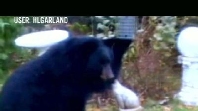 Officials Say Bear Likely Fed By Neighbors