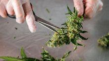 Andrew Yang Launches Marijuana Merchandise for 2020