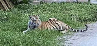 After roaming neighborhood, tiger finally found