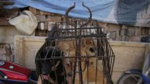 Stop The Wildlife Trade: China calls dogs 'companions' and removes as livestock ahead of Yulin dog meat festival