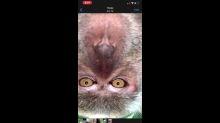Un homme se fait emprunter son téléphone, il retrouve des selfies de singe dedans