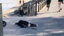 'Stubborn' Bernese Mountain Dog Just Does Not Want to Leave Adelaide Beach