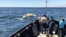Right whales found dead