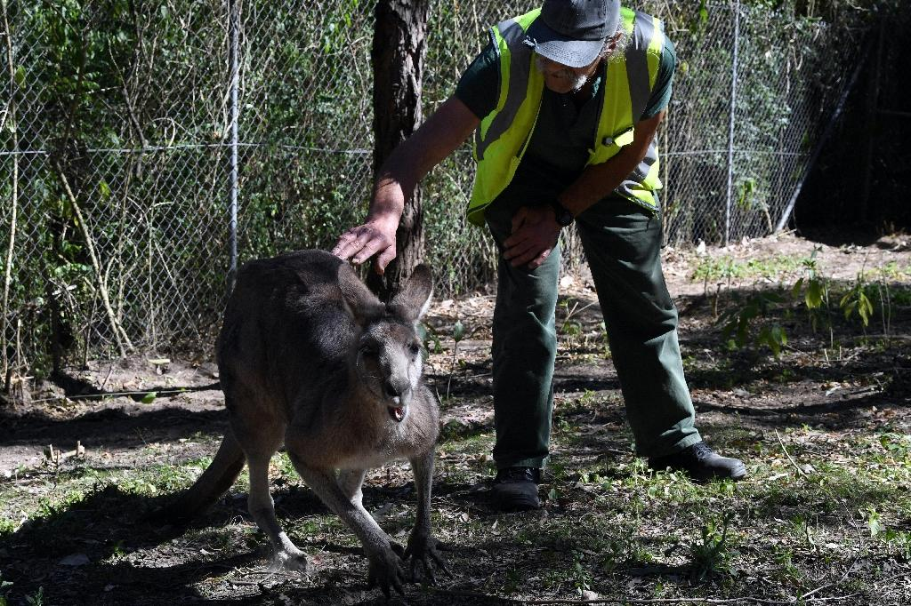 Kangaroos, emus, wombats, snakes and cockatoos are just some of the native creatures being nursed back to health by inmates at a wildlife centre based in the John Morony Correctional Complex outside Sydney. (AFP Photo/SAEED KHAN)
