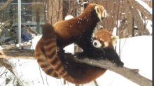 Red Panda tries to steal apple from friend