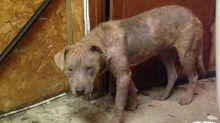 Machucada e sem pelos, cadela abandonada passa por linda transformação