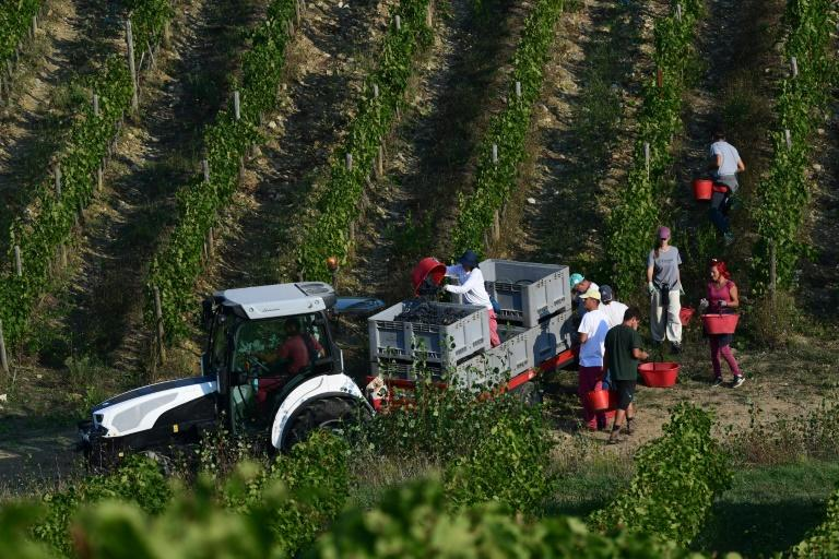 Pickers empty their buckets of grapes into crates during harvest at the estate, believed to be one of the oldest winemakers in Italy