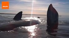 Whales take kayakers for a ride