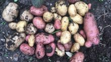 Spuds you'll like: the first earlies are nearly ready