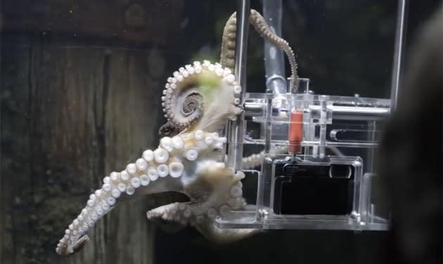 Rambo the octopus snags photography job at New Zealand aquarium