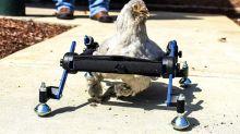 Girl upset that TV show poked fun at her wheelchair-bound pet chicken
