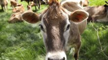 AP FACT CHECK: Unraveling the mystery of whether cows fart