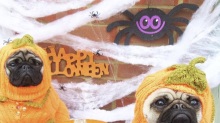 A Halloween pug cafe is here to make the spooky season extra special