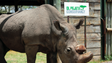 World's last male northern white rhino dies on Kenyan reserve aged 45