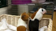 'Give me the guinea pigs!': Pet shop owner says stolen animal thrown at him after chasing thieves
