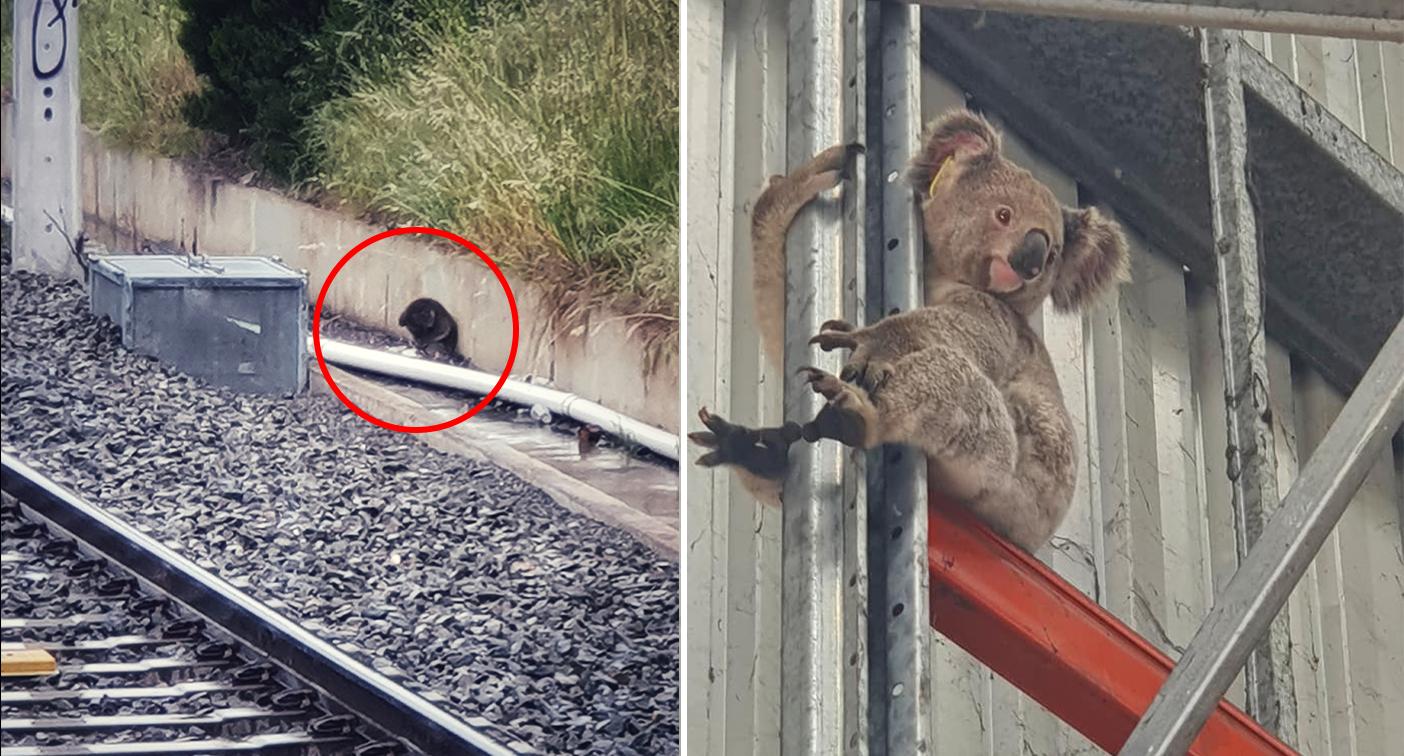 'How the hell?' Disturbing truth behind photos of koalas in suburbia