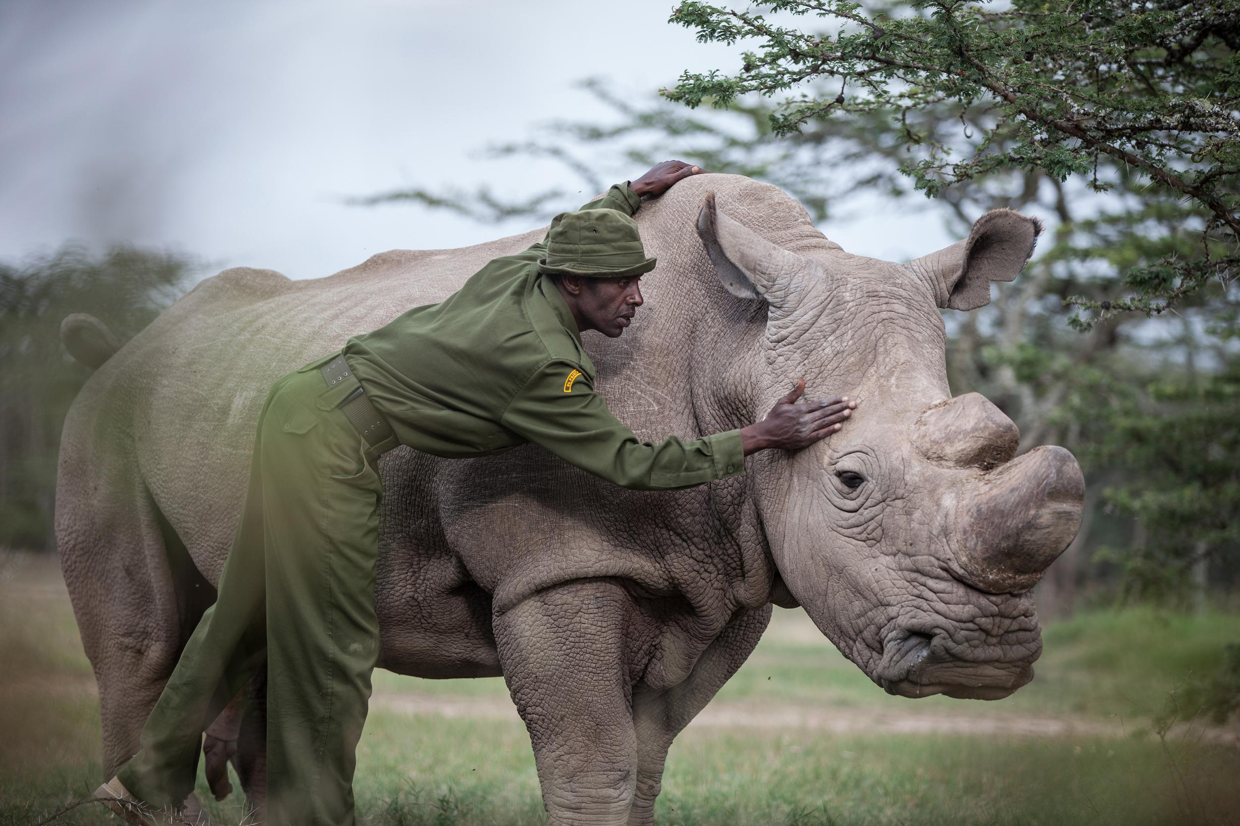 OL PEJETA CONSERVANCY, Kenya - Mohammed Doyo, head caretaker, caresses Sudan. The last male northern white rhino left on the planet, Sudan lives alone in a 10-acre enclosure, with 24-hour guards. With just five northern white rhinos left on earth - three of them here in Kenya -  conservationists are searching for a scientific breakthrough that could save a population that is already effectively extinct. (Nichole Sobecki for The Washington Post via Getty Images)