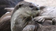 Singapore otters' lockdown antics spark backlash