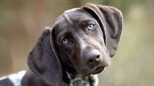 When your dog does 'puppy dog eyes', it's for your benefit, study finds