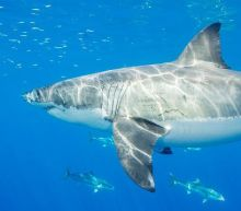 Katherine The Great White Shark Has Been Spotted Again